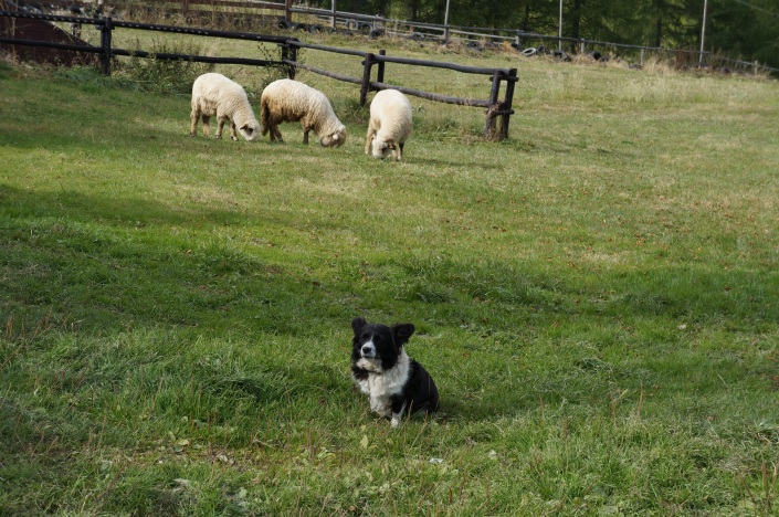 Border collie defending its flock of sheep