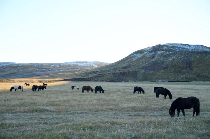 Icelandic horses grazing peacefully